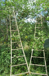 Orchard2Pickingladders