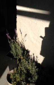 Lavender14