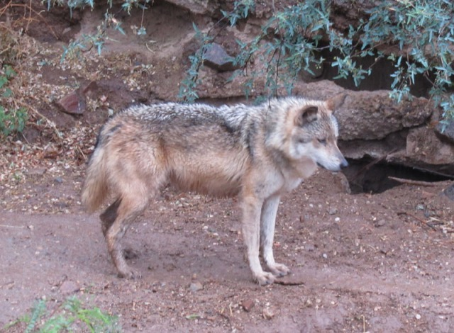 Wolf at the Arizona-Sonora Desert Museum